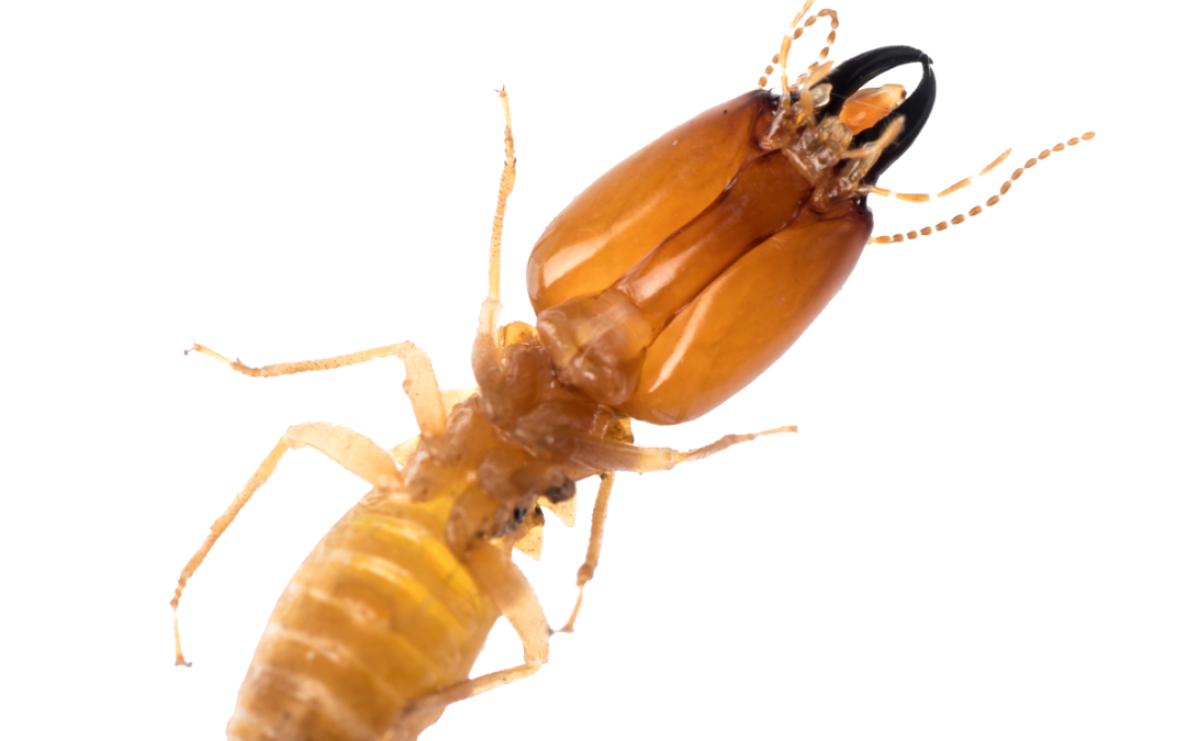 What you should know about Oklahoma Termites
