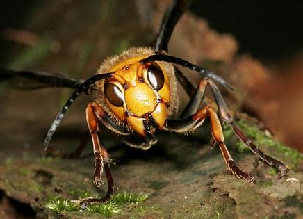 "Facts About the Asian Giant Hornet aka ""Murder Hornet"""