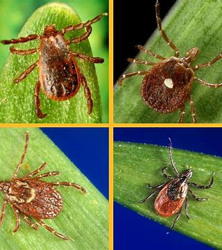 Oklahoma Ticks…Get Rid of Them!