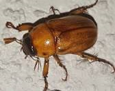 June Bug Season…Are you ready?