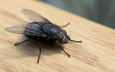 Are Flies Invading Your Home?  Here's how to Get Rid of Them.