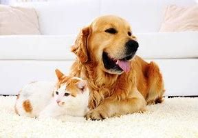 Quick Steps to Removing Pet Odor from Your Carpet