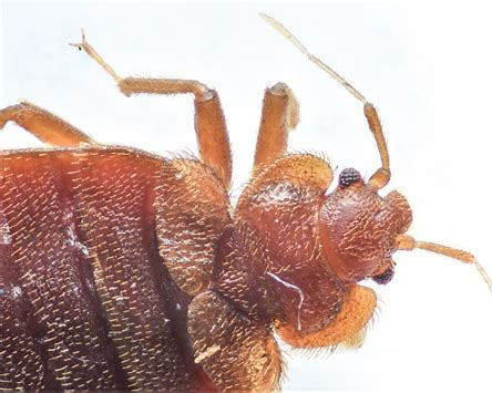 What Bed Bugs Look Like!