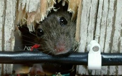 Keeping Mice Out of Your Home!