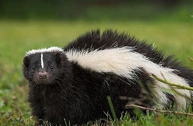 Stinky Skunk Smell…How to get rid of it!