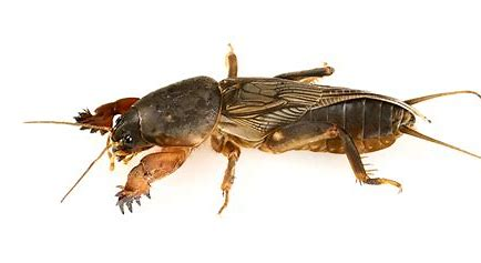 What is a Mole Cricket?