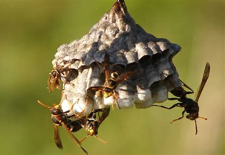 Preventing Wasp Nests